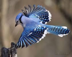blue jay flight