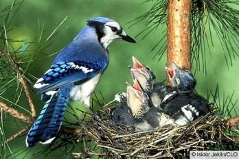 blue jay w brood