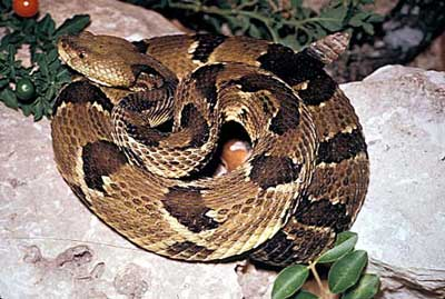 snake-timber_rattlesnake
