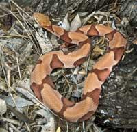 snake_copperhead
